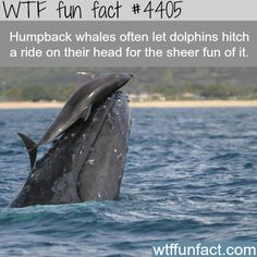 Humpback whales and dolphins -   WTF fun facts | They are both highly intelligent species who also like to have a good time so this makes complete sense to me.