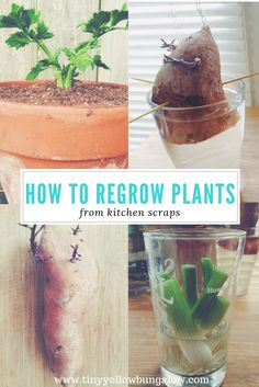 Did you know you can regrow plants from kitchen scraps? Learn these zero waste tips to regrow sweet potatoes, celery, and scallions in your home kitchen!