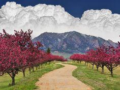 Spring Trail, Cherry Blossoms, Flatirons Boulder, Colorado