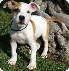Buena Park, CA - American Pit Bull Terrier Mix. Meet Patches, a puppy for adoption. http://www.adoptapet.com/pet/13354611-buena-park-california-american-pit-bull-terrier-mix