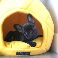 "Check out our site for more details on ""bulldog puppies"". It is a great place for more information. Cute French Bulldog, French Bulldog Puppies, Cute Dogs And Puppies, French Bulldogs, Doggies, French Bulldog Clothes, Pet Dogs, Cãezinhos Bulldog, Cute Little Animals"