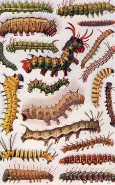 Weird and Wonderful Caterpillars, 1923