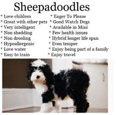 Sheepadoodle Puppies, Sheepadoodles, Sheepadoodle Dogs