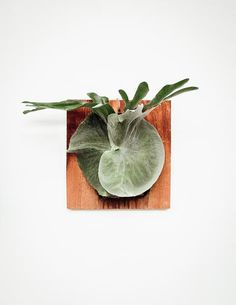 These Moosehorn ferns are mounted on rustic wooden boards for easy hanging. Cousins of the staghorn fern, moosehorn ferns are easy to care for indoors.