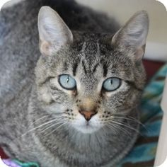 Meet Sesame, an adoptable Domestic Short Hair Tabby cat, at A.D.O.P.T. Pet Shelter in Naperville, IL