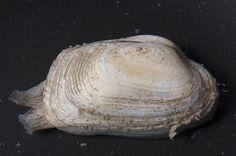 Mollusca, Bivalvia (tapijtschelp)