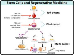 Stem Cells and Regenerative Medicine Learn more www.nkclinic.gr https://www.facebook.com/pages/NK-Clinic/110499602379675