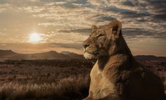 Superb Nature - The Majesty of Savannah by JacksonCarvalho. Lion Hd Wallpaper, Animal Wallpaper, Wildlife Photography, Art Photography, Happy Friday Pictures, Lion And Lioness, Wild Lion, Surreal Photos, Like A Lion