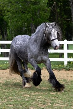 Blue Steele is a tremendous grey Gypsy Vanner Gelding. Big Horses, Work Horses, Black Horses, Horses And Dogs, Cute Horses, Pretty Horses, Horse Love, Show Horses, Andalusian Horse