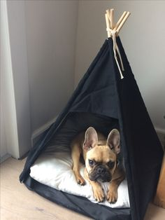 French Bulldog Puppy in a TeePee