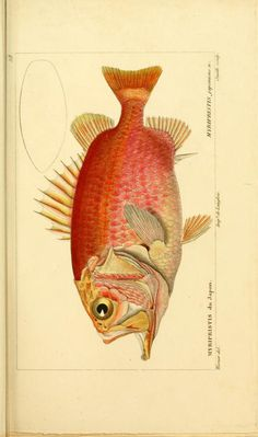 Myripristis japonicus. n., Histoire naturelle des poissons, 1828-1849, Biodiversity Heritage Library