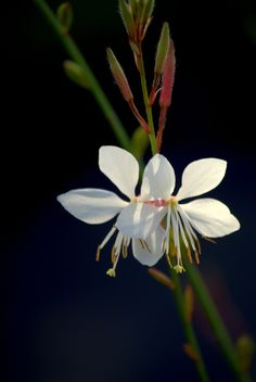 Whirling Butterflies Gaura by Nate A, via 500px | first pinned by copyright holder @Nathan Santos A.