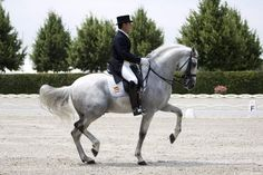 Fuego XII. Best pure spanish breed horse in Dressage. Visit barngirl.com for more,