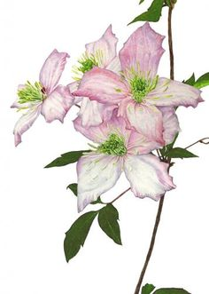 Clematis Montana, realistic flower in watercolor by Anna Mason Art Botanical Drawings, Botanical Illustration, Illustration Art, Illustrations, Botanical Flowers, Botanical Prints, Watercolor Flowers, Watercolor Art, Clematis Montana