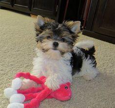 Biewer yorkie puppy. Little Dani
