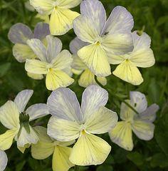 Viola cornuta 'Clouded Yellow'