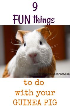 fun things to do with your guinea pig