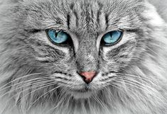 Blue-eyed cat by cocoparisienne