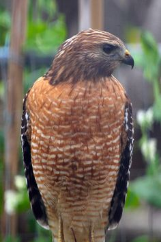 "Red-tailed Hawk. He and ""the Mrs."" are in our yard every day.  Once, I saw him bathing in one of our birdbaths."