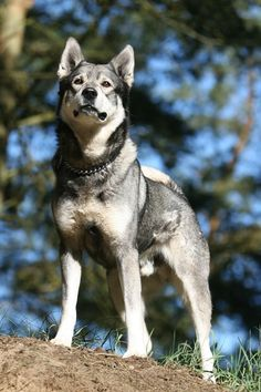 Swedish Elkhound.