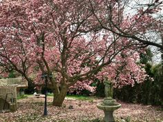 Pink magnolia tree in full bloom.