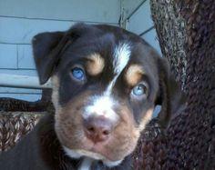 Siberian Husky/Pitbull Mix love why are puppies so cute! Best Puppies, Cute Puppies, Cute Dogs, Dogs And Puppies, Husky Pitbull Mix, Siberian Husky Mix, Rottweiler Mix, Beautiful Dogs, Animals Beautiful