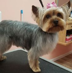 16 Best Yorkie Haircuts for Males and Females - Dog Red Line Yorkshire Terrier Haircut, Yorkshire Terrier Puppies, Yorkie Cuts, Yorkie Hairstyles, Puppy Haircut, Puppy Grooming, Grooming Yorkies, Dog Haircuts, Cute Dogs And Puppies