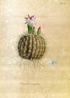 Botanical I Cactus Cactus Drawing, Cactus Art, Vegetable Illustration, Plant Illustration, Botanical Drawings, Botanical Prints, Lupine Flowers, Cactus Planta, Nature Sketch