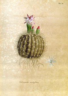 http://vintageprintable.com/wordpress/wp-content/uploads/2011/05/Botanical%20-%20Cactus%203.jpg