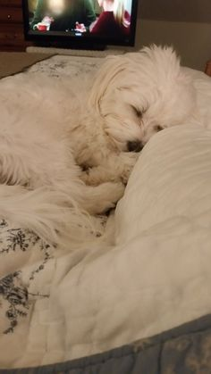 Maltese and Children: Is It a Good Combination - Champion Dogs Cute Puppies, Cute Dogs, Dogs And Puppies, Doggies, Lap Dogs, Maltese Dogs, Maltese Poodle, Maltese Shih Tzu, Teacup Maltese