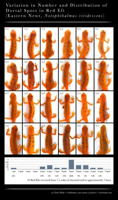 The variation in number, size, and placement of the spots on the backs of Red Efts. #salamander # amphibian #poster