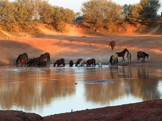 Brumbies, the wild horses of Australia ... I'm going to Australia to be a brumby…