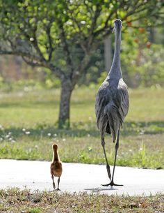 Image result for sandhill crane