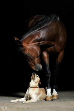 Horse and Labrador Retriever