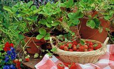Immertragende Erdbeeren im Topf brauchen spätestens alle zwei Wochen organischen Blühpflanzendünger