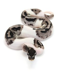 piebald ball python - Google Search