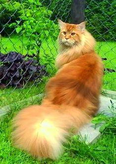 El rey de los gatos http://www.mainecoonguide.com/maine-coon-personality-traits/