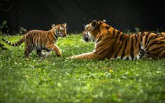 Tigers - Come on, Son | by bonaphoto