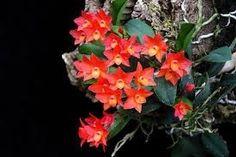 orquidea sophronitis cernua com mais de 8 pseudobulbos