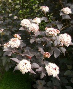 Thanks to beautiful varieties with rich purple or bright gold foliage, ninebark is a flowering shrub that is just as popular because of its leaves. It produces fluffy clusters of white blooms in late spring and early summer. #gardenideas #gardenplants #landscaping #bestshrubs #floweringshrubs #bhg