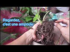 Caladium - Comment se propager - YouTube Youtube, Dreadlocks, Hair Styles, Beauty, Gardening, Garden, Bulbs, Plant Pots, Plants