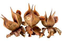 Beaked stewartia ( Stewartia rostrata ) Collected at Arnold Arboretum of Harvard University, Boston, Massachusetts, Magnolia Soulangeana, Golden Rain Tree, Delonix Regia, Ecology Center, New Zealand Flax, Fatsia Japonica, Wild Indigo, Seed Dispersal, Flowers