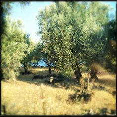 11.000.000 olive trees on Lesvos