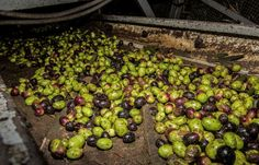 Olives being processed. Hobby Farms, Olives, Olive Oil, Fruit, Vegetables, Ideas, Food, The Fruit, Veggies