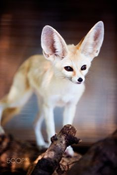 Fennec fox by - leniel velazquez on Wild Animals Photos, Animals And Pets, Baby Animals, Cute Animals, Fennec Fox Pet, Pet Fox, Foxes Photography, Fox Art, Wild Dogs