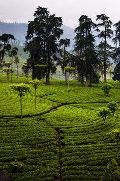 Sri Lanka | Tea patterns by L O L A M E D I A on 500px