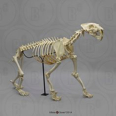 A full articulated skeleton of the majestic Sabertooth Cat (Smilodon fatalis) from the La Brea Tar Pits in Los Angeles. Each bone - 231 pieces in all - was individually and meticulously molded by us, cast in the finest resin. Animal Skeletons, Animal Anatomy, Natural History, Fossils, Bones, Lion Sculpture, Statue, Antiques, Cats