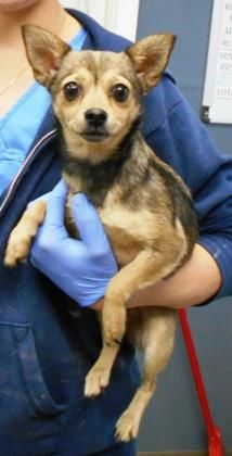 Interested in meeting Flapper? Call or visit to speak to an adoption representative at TANEY COUNTY HEALTH DEP'T 255 Critter Trail Hollister MO 65672 simpss2@lpha.mopublic.org Ph 417-332-0172