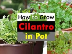 How To Grow Cilantro In A Pot | Growing Coriander In Containers