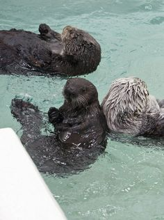 n this May 24, 2012 photo provided by the Shedd Aquarium in Chicago, Cayucos, bottom left, an orphaned sea otter pup, swims with other otters as she makes her first public appearance at the aquarium's Abbott Oceanarium.